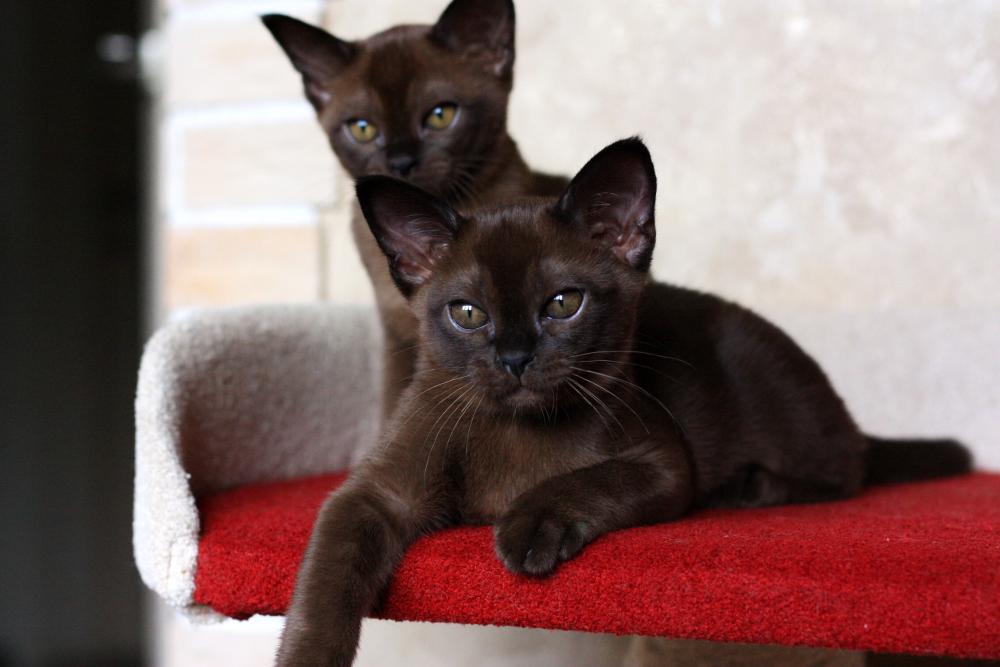 бурманский котенок