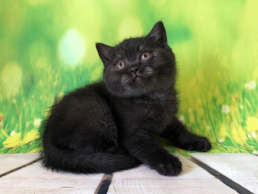Британцы коты черные фото худые